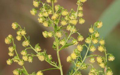 L'Artemisia, un anti-palu qui appelle au combat