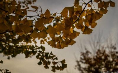 Le Ginkgo, l'arbre aux quarante écus