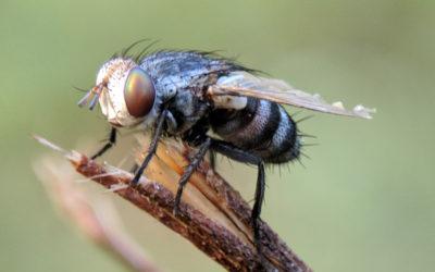 Sa majesté la mouche