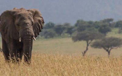 L'éléphant d'Afrique, future relique