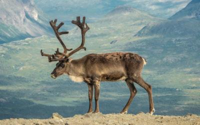 Le renne, roi de l'adaptation