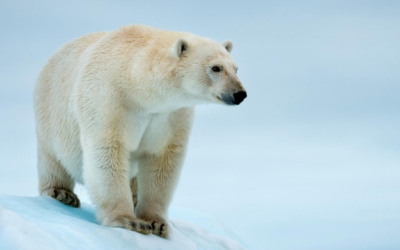 L'ours blanc comme sa banquise
