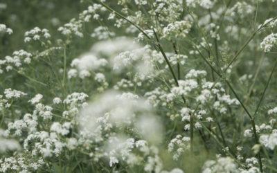 Les Carottes Sauvages : transformez votre pelouse en potager